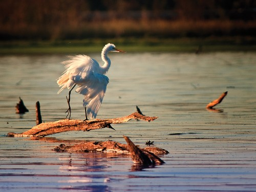 Wildlife photography of the Great White Egret of Mountain Creek in Dallas County Texas