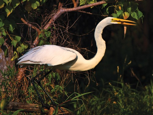 Wildlife photography with Nikon D5000 of the Great White Egret eating an alligator gar