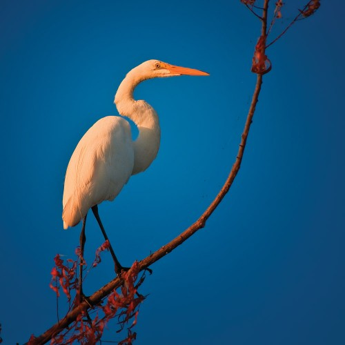 Wildlife photography with Nikon D5000 of the Great White Egret