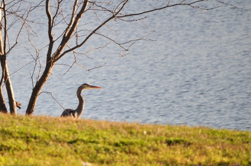 Blue Heron by the Lake