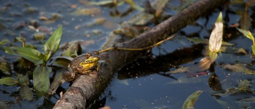 Wildlife photography of Donna Miller of frog near water shot with Nikon D5000