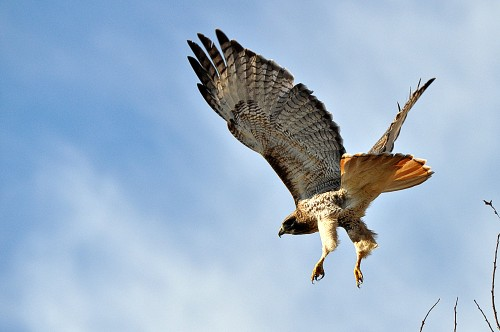 Flight of the Redtailed Hawk