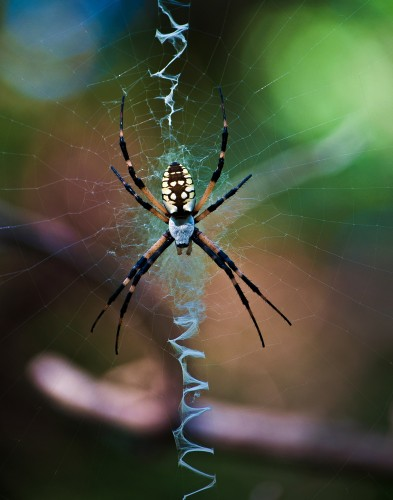 Spider photography shot with Nikon D5000 of an Argiope aurantia or writing spider, photo title is Intelligent Design