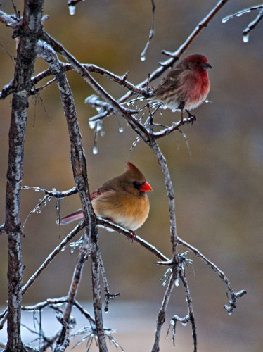 House Finch and Cardinal